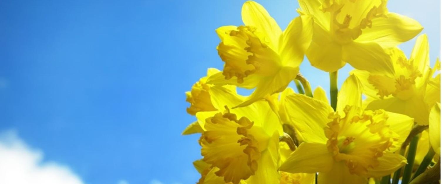 Daffodil and blue sky